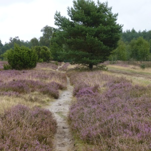Lueneburger Heide 11